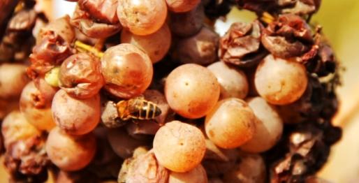 Abejas demostrando la biodiversidad y altas propiedades del vino