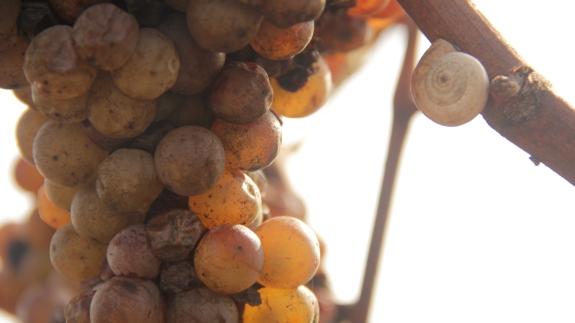 Caracoles demuestran la biodiversidad del viñedo